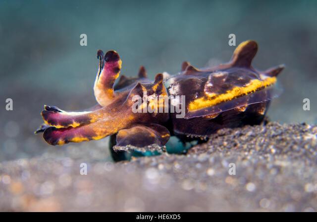 Flamboyant cuttlefish walking