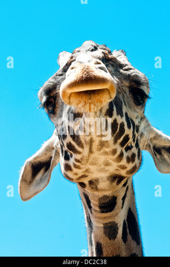 funny-giraffe-head-viewed-from-below-wit