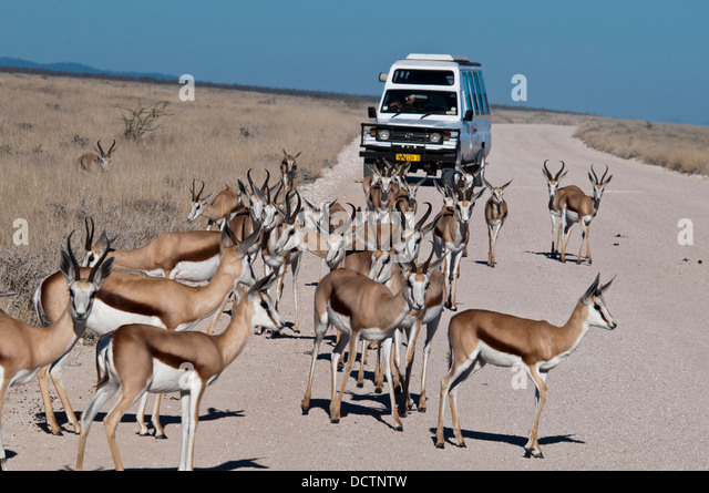 tourists-viewing-a-herd-of-springbok-ant