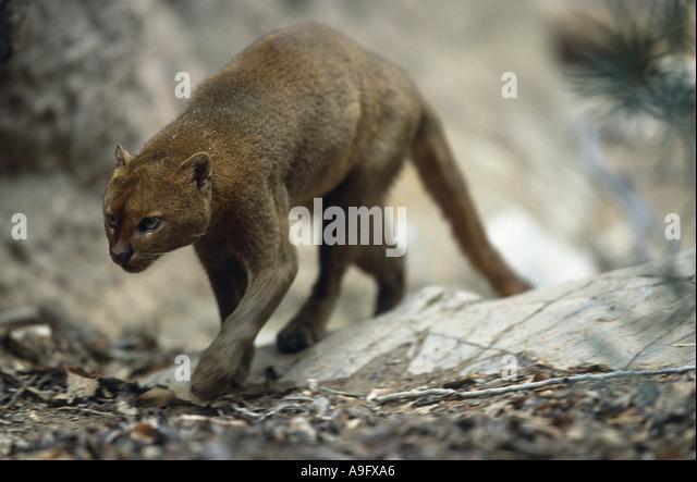 jaguarundi (Felis yagouaroundi), walking, front view, USA, Arizona, Saguaro National Monument - Stock Image