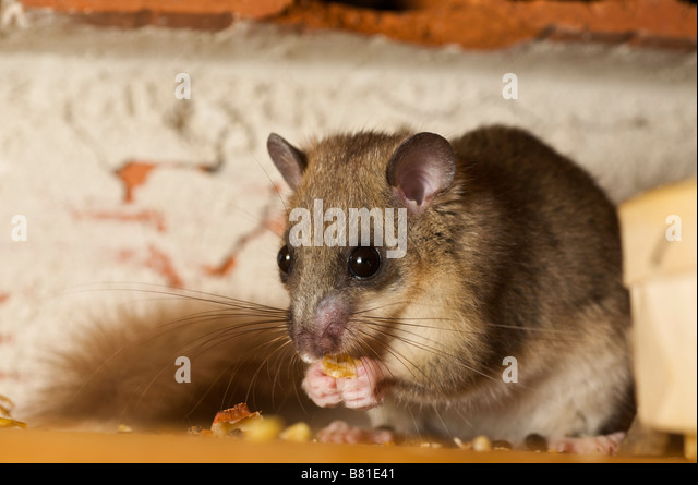 fat dormouse  German  English  PONS