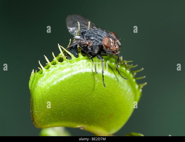 Venus fly trap anatomy