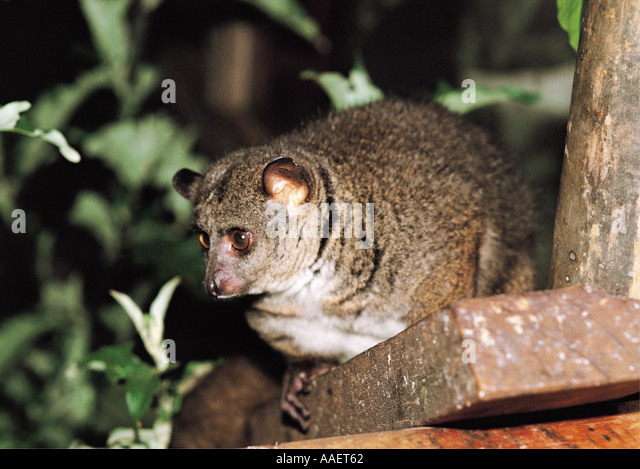 Thick tailed bushbaby
