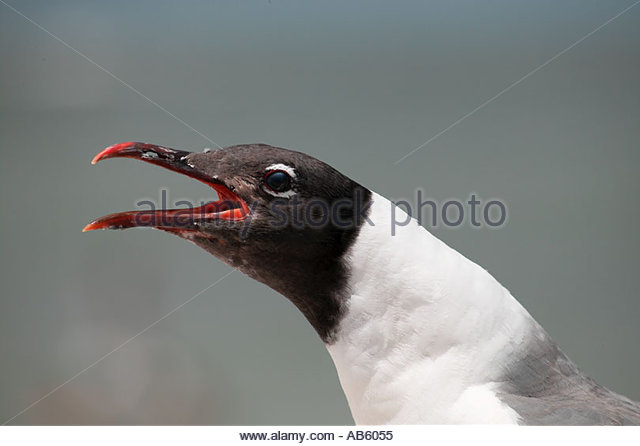 black-headed-gull-clearwater-florida-fl-