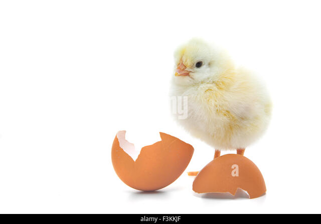 cute-little-chick-all-on-white-backgroun