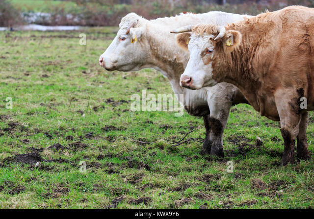 cattle-on-a-pasture-in-winter-ruhr-area-