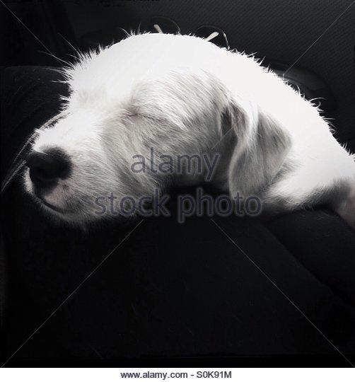 white-american-bulldog-mixed-sleeping-s0