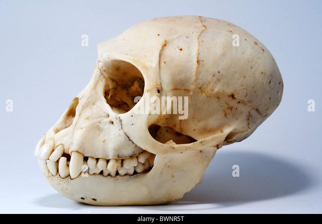 Lemur skull teeth