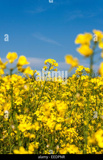 rape-seed-flowers-on-a-spring-day-oxford