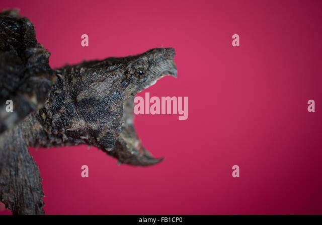 Snapping turtle white background