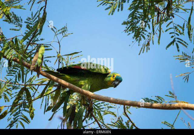 wild-blue-fronted-amazon-parrot-amazona-