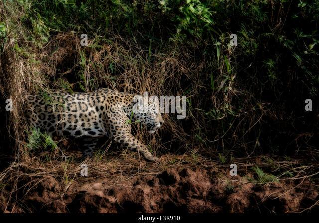 profile-of-a-jaguar-panthera-onca-huntin