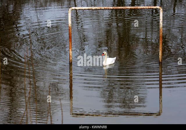 mute-swan-cygnus-olor-on-a-flooded-footb