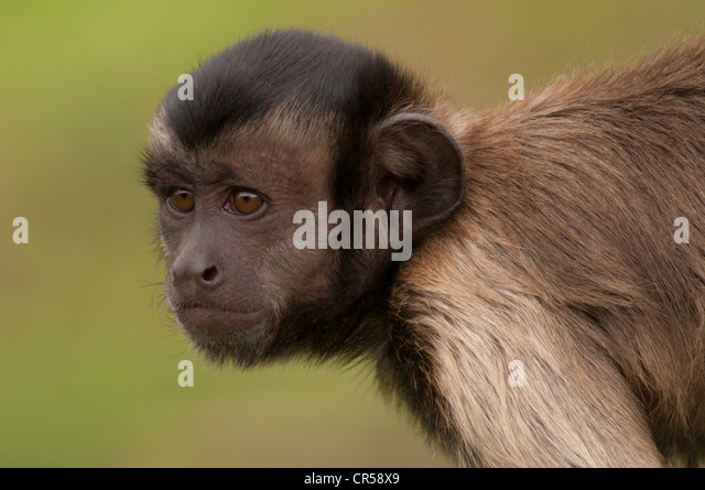 the monkey species of cebus apella otherwise known as capuchins As they pick up dropped fruit opened by the capuchins which would not otherwise known as brown capuchins: cebus apella) species will be recorded where known.
