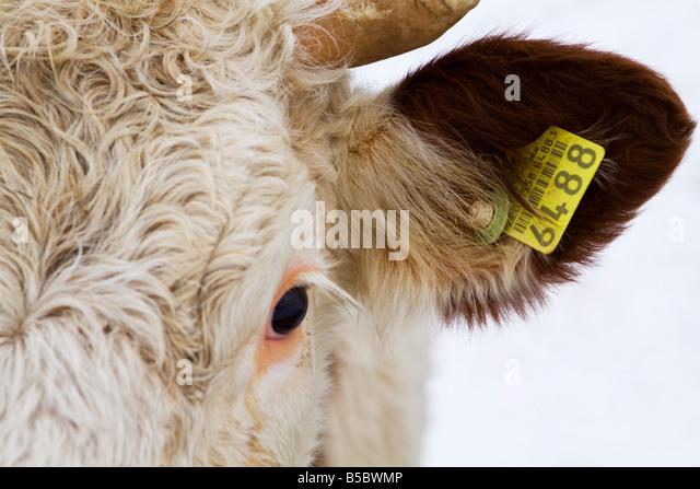 Close Up на крава и му Tag - Фондова Изображение