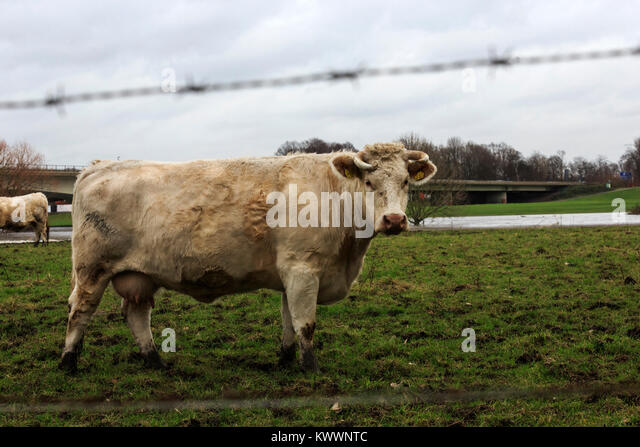 cow-with-muddy-feet-on-a-pasture-in-the-