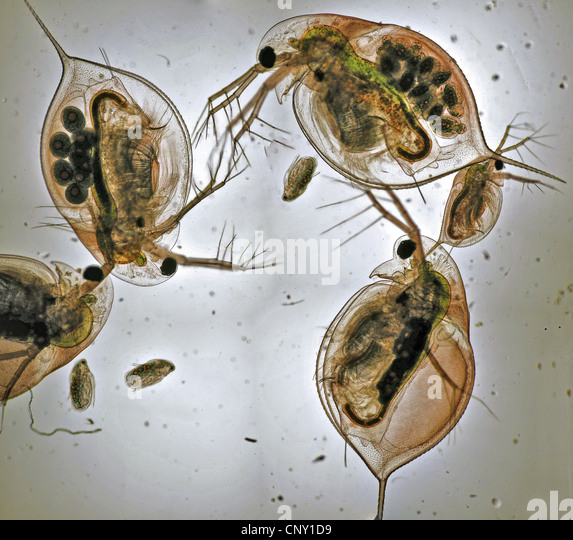 daphnia research papers