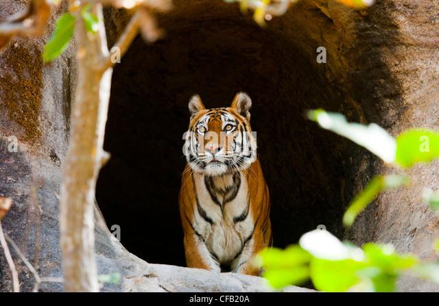 bengal-tiger-bandhavgarh-national-park-m