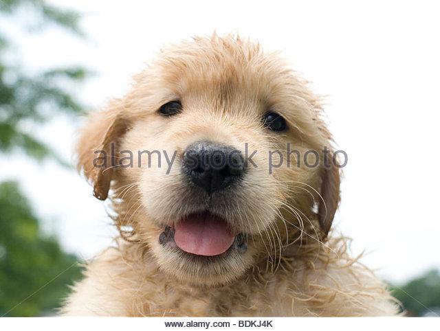 Golden Retriever Puppy - Stock Image