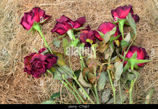 dying-roses-lying-on-a-pile-of-dry-grass