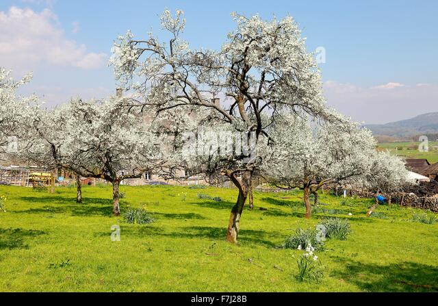 lyth-valley-damson-tree-orchard-in-bloss