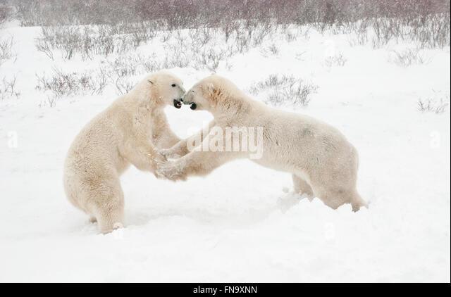 two-young-polar-bears-ursus-maritimus-se