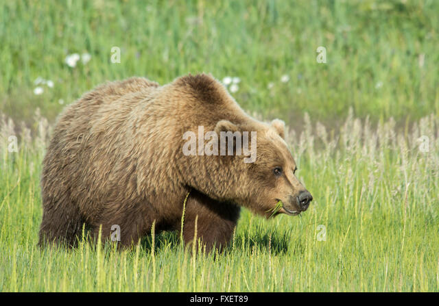 solitary-wild-adult-grizzly-bear-ursus-a
