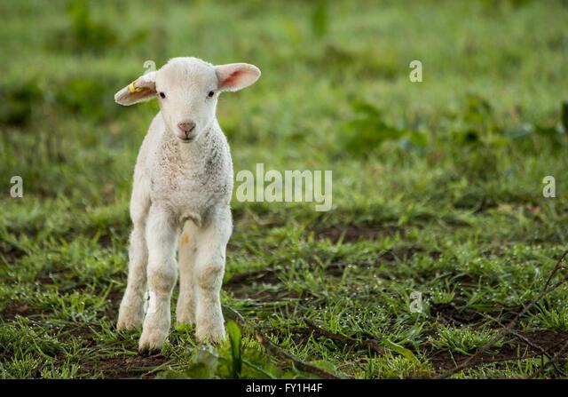 corsham-uk-20th-april-2016-new-born-lamb