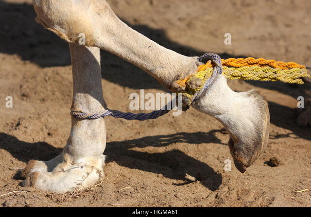 hobbled-camel-janabiya-camel-farm-kingdo