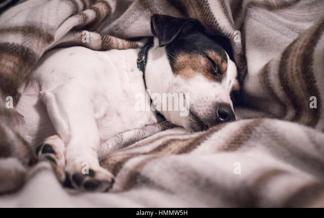 black-white-and-tan-jack-russell-terrier