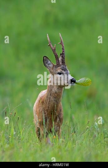 roe-deer-capreolus-capreolus-buck-eating