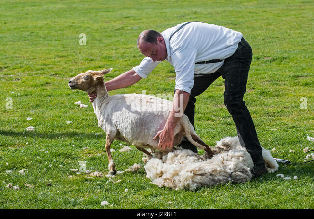 shearer-machine-shearing-the-woollen-fle