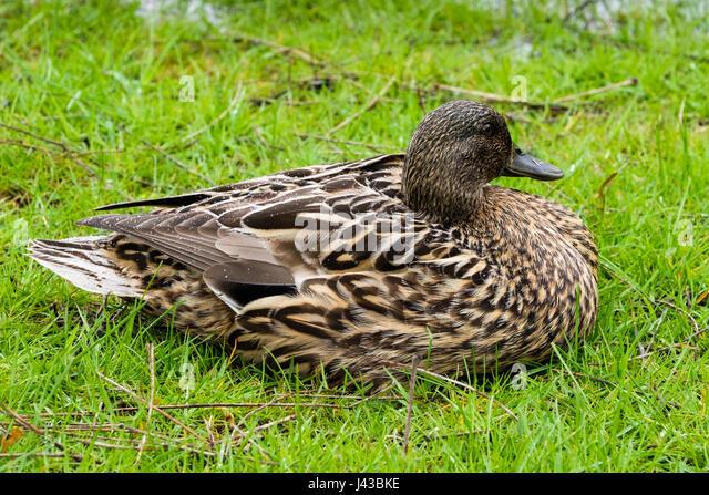 mallard-hen-anas-platyrhynchos-resting-m